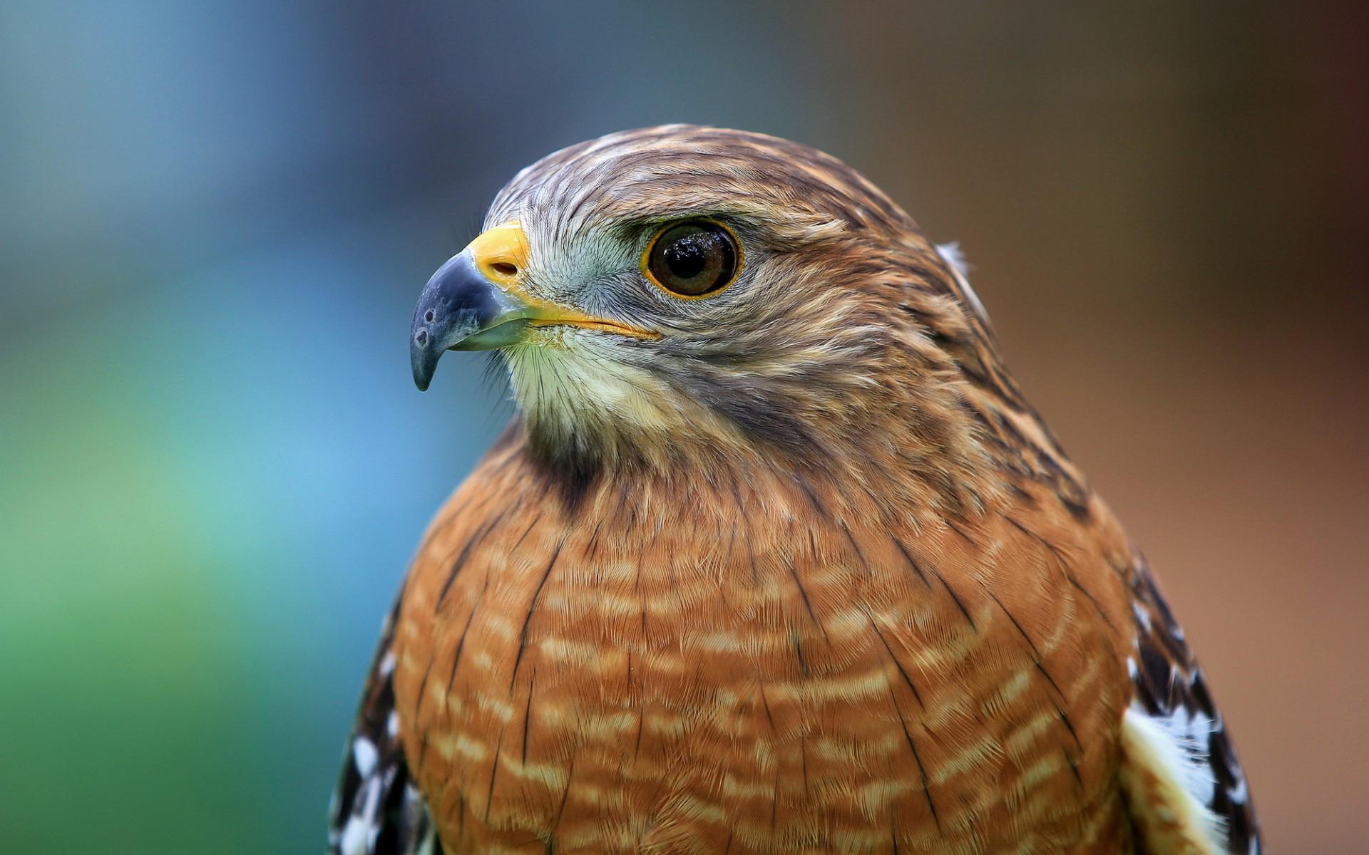 ястреб hawk  № 20852 бесплатно