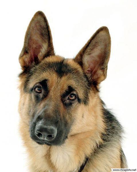 Немецкая овчарка 11 - Dog24 - клуб собаководов