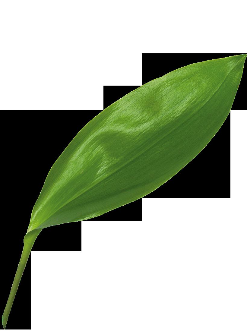 Листья у ландыша картинки